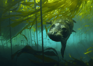 picture of a habor seal in kelp in the great bear sea