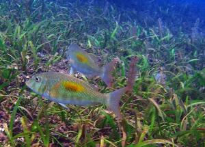 fish at restored coral reef at biri resort