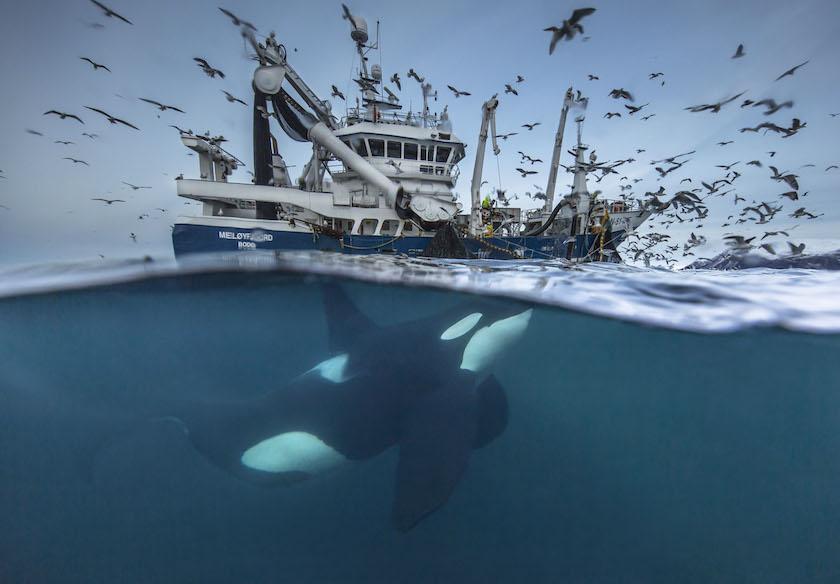 Audun Rikardsen - Orca