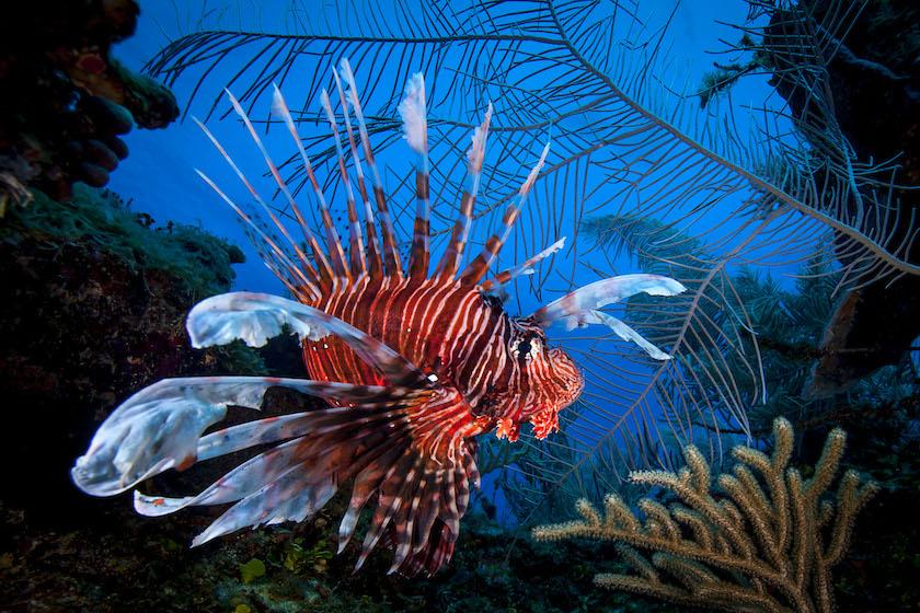 Christian Vizl - Lionfish