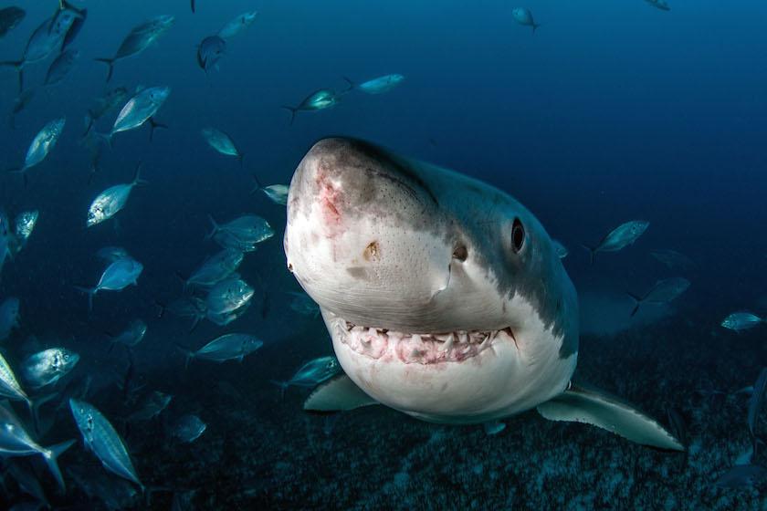 Tomas Kotouc - Great White Shark