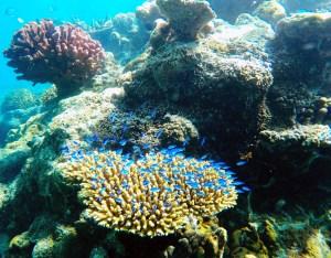 coral reef underwater in vanuatu