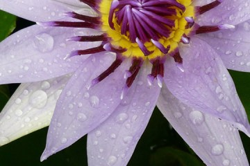 water lily representing dance in the sun playlist