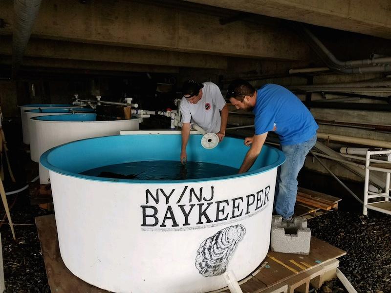 tank of farmed oysters