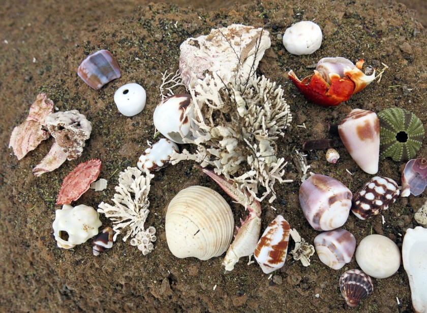 seashells in galapagos
