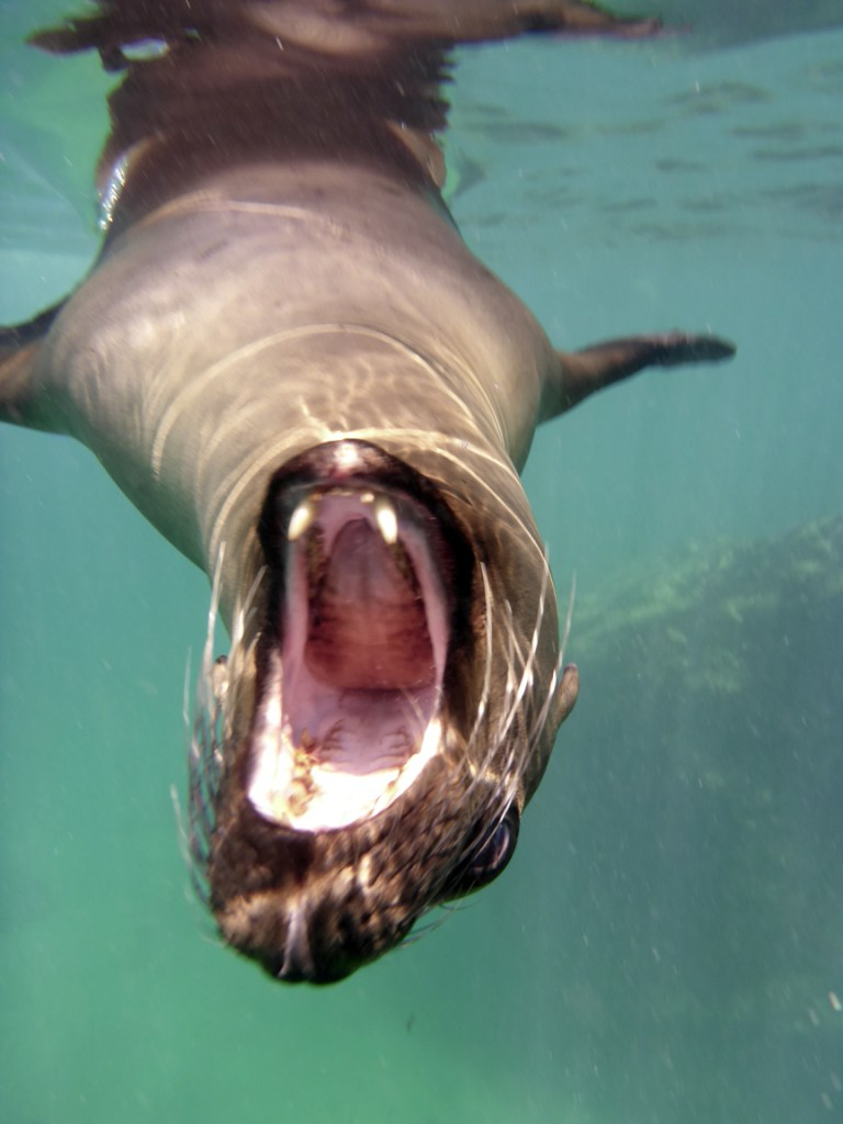 """The canine teeth on this animal explain wellthe literal translation of their Spanish name """"Sea Wolf"""""""