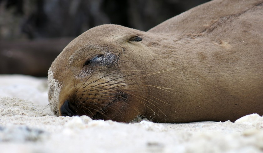 A young sea lion rests exhausted on the sand.