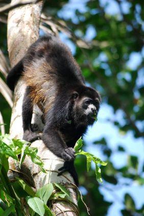 Howler monkey, Cahuita, Costa Rica