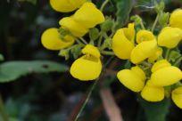 Baby shoe flowers, Ecuador