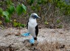Blue-footed Booby, Ecuador