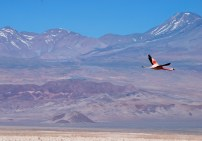 Flying flamingo, Laguna Chaxa, Chile