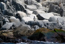 Humboldt penguin, Chile