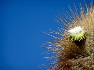 Flowering cactus, Isla Incahuasi