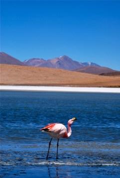 Flamingo, Laguna Hediona, Bolivia