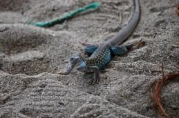 Spotted lizard, Zorritos, Peru