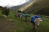 The mules start another day at the office, Santa Cruz trek, Cordillera Blanca, Peru