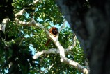 Howler monkey, Madidi National Park, Bolivian jungle.