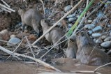 Capybaras, Bolivian jungle