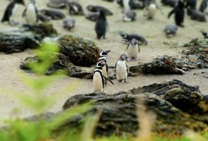 Penguin colony at Parque Ahuenco, Chiloé