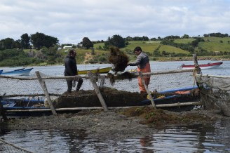 Gathering seaweed for sale, Quetalmahue, Chiloé, Chile.