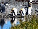 And bend, and stretch... King penguins, Bahia Inutil, Chilean Tierra del Fuego.