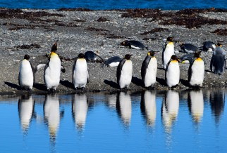King penguins, Chile