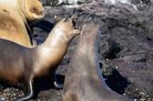 Sea lion fight