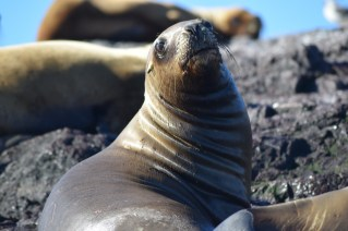 Sea lion pose