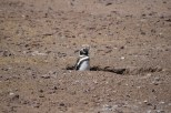Penguin in a hole
