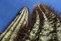 Giant cacti, Parque Nacional Ischigualasto, San Juan, Argentina.