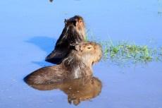 Bathing capybaras, Argentina