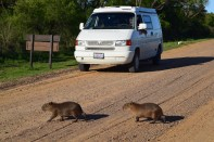 Capybaras crossing