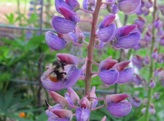 A native bumblebee working over the lupine.