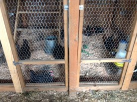 Pullets and cockerels enjoying the remodeled breeding pens.