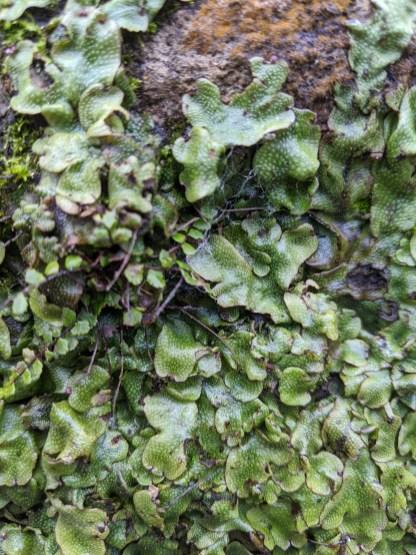 Orobus-seed liverwort - Targionia hypophylla