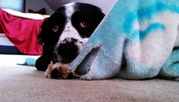 Köpeklerde Korkuyu Yenme Yöntemleri Korkularıyla başetmesinde köpeğinize yardımcı olun. Patilerinizle birlikte uygulayabileceğiniz kolay eğitim ve terapi yöntemleriyle köpeğinizi korkularından kurtarın. http://sevgilikopegim.com/2014/10/06/kopeklerde-korku-ve-fobileri-yenmek-icin-ipuclari/