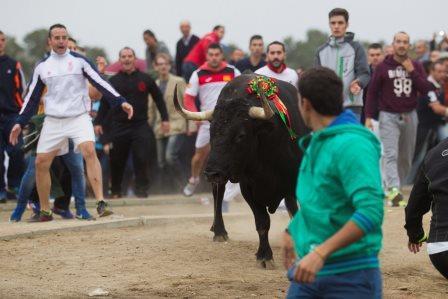 Tordesillas (Valladolid), 15 de septiembre de 2015. El toro Rompesuelas durante la celebración del torneo del Toro de la Vega. Foto: Antonio Heredia.