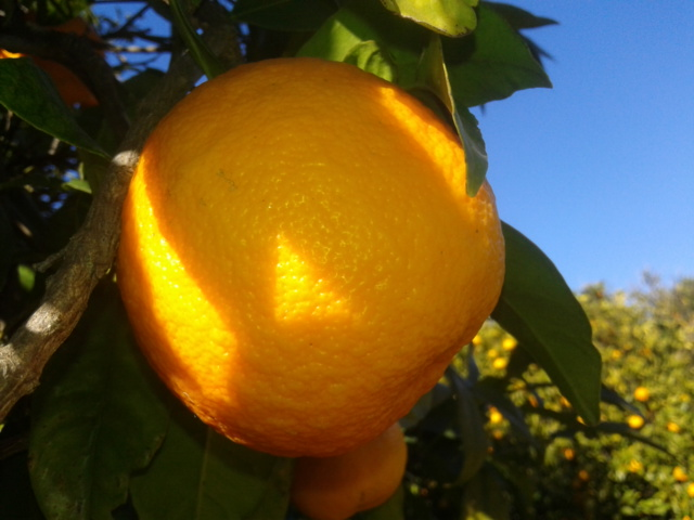 Organic Ave María Sevlle Orange in Ave María Farm