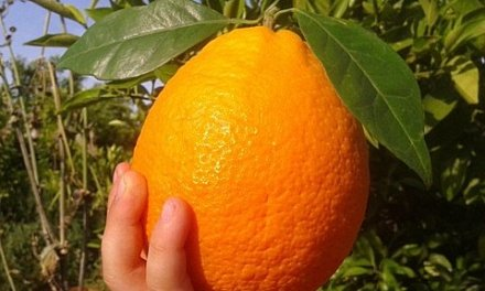 What is a Navelina Orange