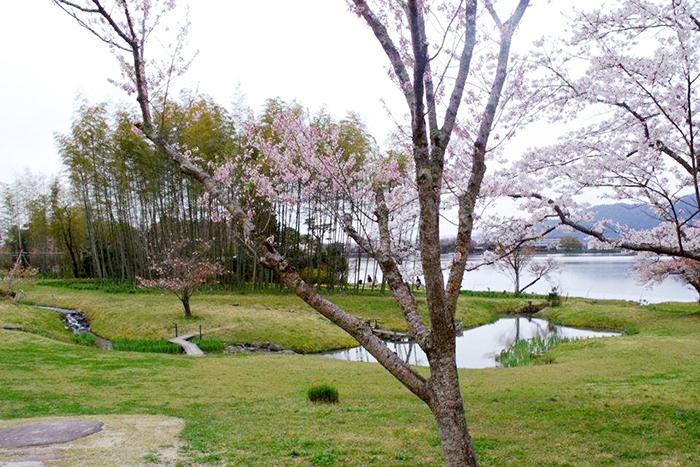Sakura por todos os lados