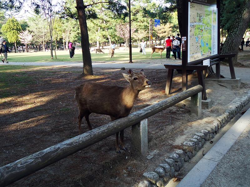 Veados pelo parque de Nara