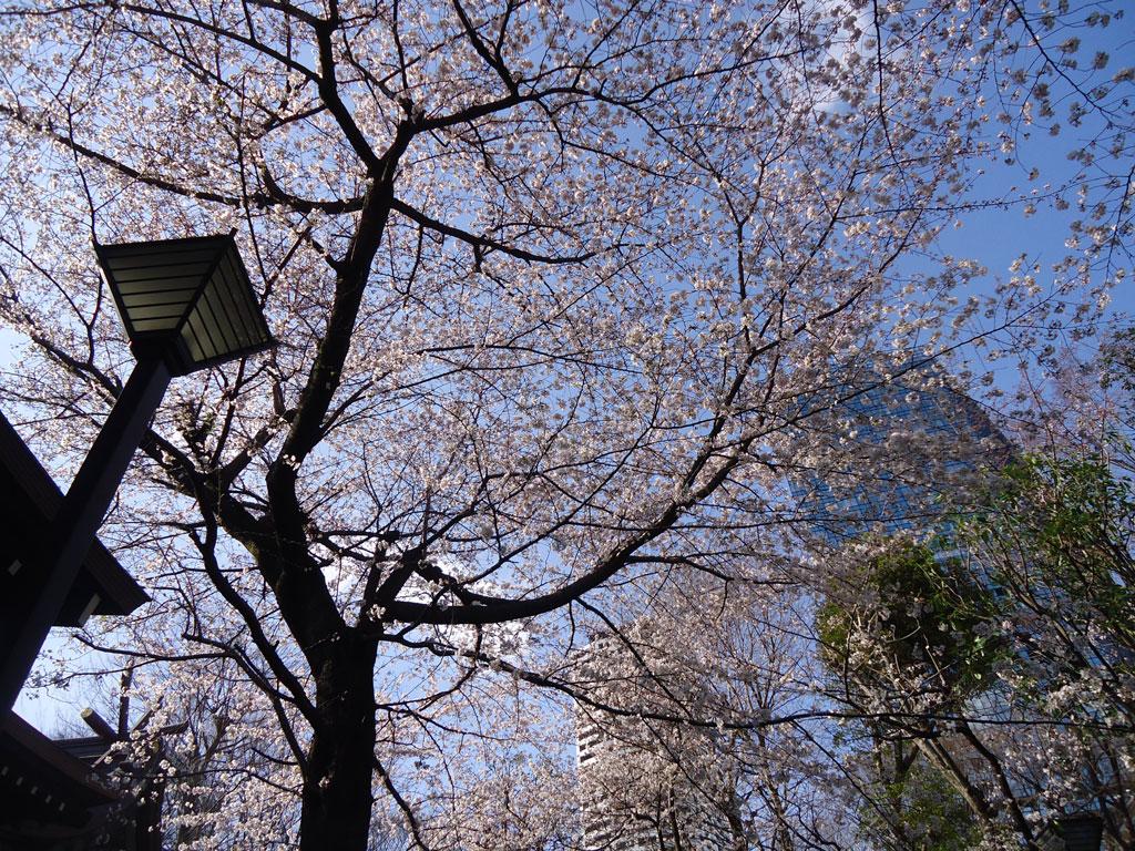 cerejeiras-eceu-no-chuo-park