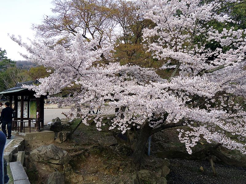 Uma sakura florida só pra variar