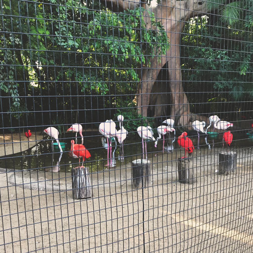flamingos-chilenos