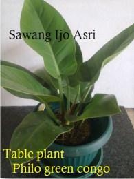Phillo green congo untuk table plant