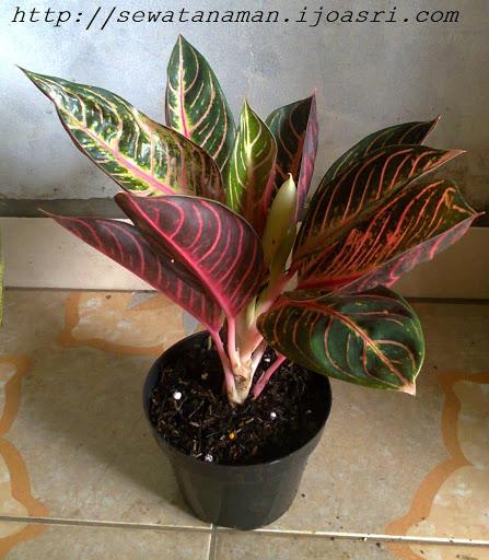 Table Plant Aglonema Fred Sumatra