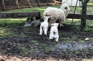 Sheep and twins