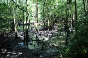 Bluff Trail cypress swamps