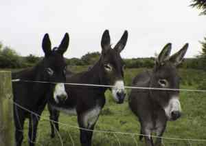 Photo-of-Three-Donkeys-300x212 My Trip to Ireland