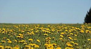 dandelion, meadow, dandelion meadow